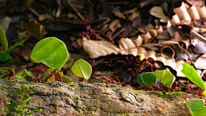 Leaf cutter ants (Atta sp) carrying leaves and pieces of yellow flowers along a branch, Amazon rainforest, Orellana Province, Ecuador.  -  Morley Read