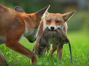 Red fox (Vulpes vulpes) cub defending its kill (a large dead Brown rat (Rattus norvegicus)) from another cub, North London, UK. August. - Matthew Maran