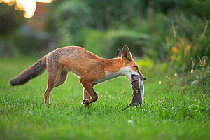 Red fox (Vulpes vulpes) carrying a large dead Brown rat (Rattus norvegicus) in an urban garden, North London, UK. August. - Matthew Maran