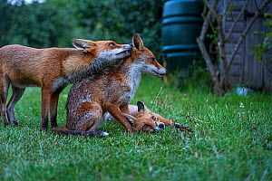 Red Fox (Vulpes vulpes) vixen grooming her cub from the previous year with her more recent cub waiting its turn, North London, UK. August.  -  Matthew Maran
