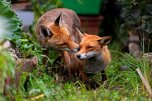 Red fox (Vulpes vulpes) dog interacting with a vixen in an urban garden. North London, UK. June.  -  Matthew Maran