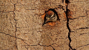 Downy woodpecker nestlings (Picoides pubescens) at nest entrance, begging to be fed, Southern California, USA, May.  -  John Chan