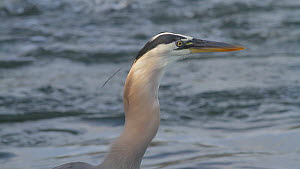 Great blue heron (Ardea herodias) swallowing a fish, with the fish visible in the herons throat, Southern California, USA, June. - John Chan