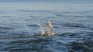 Forster's tern (Sterna forsteri) plunge diving for a fish, Southern California, USA, June. - John Chan