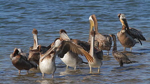 California brown pelicans (Pelecanus occidentalis) preening, with Double-crested cormorants (Phalacrocorax auritus) roosting nearby, Southern California, USA, June.  -  John Chan