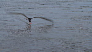 Black skimmer (Rynchops niger) hunting for fish, Southern California, USA, June. - John Chan