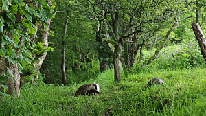 Two Badger (Meles meles) cub looking around whilst feeding, UK, June. - Andy Rouse