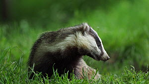Badger (Meles meles) cub looking around whilst feeding, UK, June. - Andy Rouse
