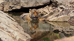 Bengal tiger (Panthera tigris tigris) drinking whilst wallowing in a pool, thermoregulating, Ranthambore, India. - Andy Rouse