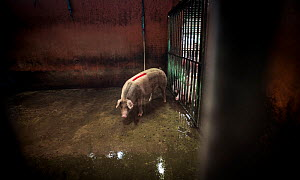 A pig next to the killing floor of slaughterhouse. Thailand. February 2019.  -  Jo-Anne McArthur / We Animals