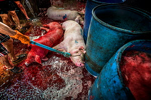 A pig being improperly stunned before being killed at a Thai slaughterhouse. The electrical current is being applied to the pig's face and eyes. Thailand. February 2019.  -  Jo-Anne McArthur / We Animals