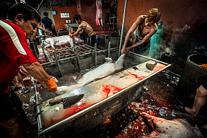 A pig is dropped into a bath of boiling water on the kill floor of a Thai slaughterhouse. Thailand. February 2019.  -  Jo-Anne McArthur / We Animals