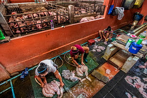 Burmese women clean entrails, while pigs on the other side of the wall await slaughter. Thailand. February 2019.  -  Jo-Anne McArthur / We Animals