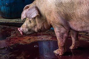 A pig standing in blood next to the kill floor at a Thai slaughterhouse. Thailand. February 2019.  -  Jo-Anne McArthur / We Animals