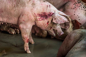 A stressed pig with wounds in a holding area at a Thai slaughterhouse. Thailand. February 2019. - Jo-Anne McArthur / We Animals
