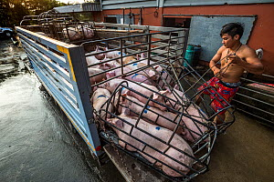 Pigs being unloaded from a small truck into the holding area of a Thai slaughterhouse. Thailand. February 2019. - Jo-Anne McArthur / We Animals