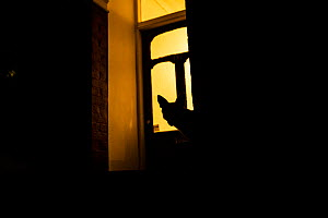 Red fox (Vulpes Vulpes) silhouetted in door to a house, North London, England, UK. June.  -  Matthew Maran