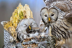 Ural owl (Strix uralensis) male bringing food to the nesting female, Tartumaa county, Southern Estonia. April - Sven  Zacek
