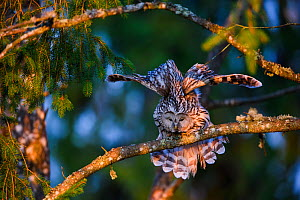 Ural owl (Strix uralensis) female perching on spruce branch and stretching its wings, Tartumaa county, Southern Estonia. May.  -  Sven  Zacek