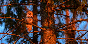 Ural owl (Strix uralensis) perching on an old spruce tree in red evening light, Tartumaa county, Southern Estonia. May. - Sven  Zacek