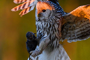 Ural owl (Strix uralensis) female carrying a caught water vole to her nestlings at sunset, Tartumaa county, Southern Estonia. May.  -  Sven  Zacek