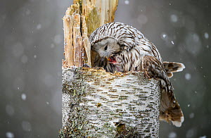 Ural owl (Strix uralensis) female on the nest feeding a very young nestling in snowfall, Tartumaa county, Southern Estonia. May. - Sven  Zacek