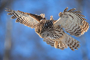 Ural owl (Strix uralensis) in flight, hunting, Tartumaa county, Southern Estonia. February. - Sven  Zacek
