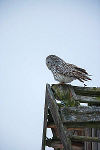 Ural owl (Strix uralensis) using an abandoned house as en elevated perch for hunting, Tartumaa county, Southern Estonia. March. - Sven  Zacek
