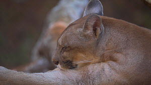 Slow motion clip of a Puma (Puma concolor) grooming itself, Amazon, Brazil. Captive. - Laurie Hedges