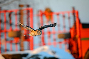 Ural owl (Strix uralensis) flying in front of agricultural equipment in Vorumaa county, Southern Estonia. February. - Sven  Zacek