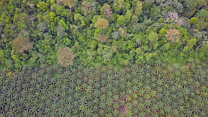 Drone shot tracking over oil palm plantations and rainforest edge, showing areas of deforestation, Rondonia, Brazil, 2019. - Laurie Hedges