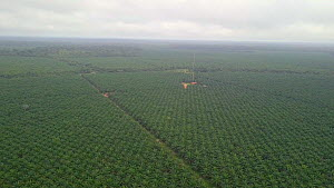Drone shot tracking over an oil palm plantation, once rainforest, Rondonia, Brazil, 2019.  -  Laurie Hedges