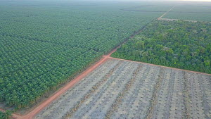 Drone shot tracking over oil palm plantations, showing rainforest fragmentation, Rondonia, Brazil, 2019.  -  Laurie Hedges
