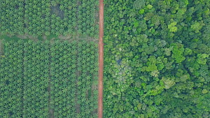 Drone shot tracking over oil palm plantations in a deforested rainforest landscape, showing frontier between plantation and forest and vehicles on roads, Amazon, Brazil, 2019.  -  Laurie Hedges