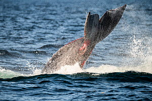 North Atlantic right whale (Eubalaena glacialis) struggling to free itself from entanglement in fishing gear, showing wounds on tail fluke, Gulf of Saint Lawrence, Canada. August. - Nick Hawkins