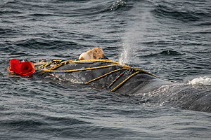 North Atlantic right whale (Eubalaena glacialis) male entangled in fishing gear. The whale was distressed and struggling to breathe through the ropes and weight of the gear, however he was later able... - Nick Hawkins