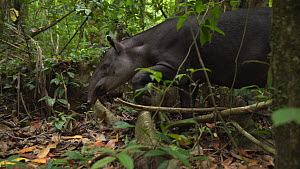 Slow motion clip of an adult female Baird's tapir (Tapirus Bairdii) walking through a rainforest, stepping over a tree root, Corcovado National Park, Costa Rica. - Laurie Hedges