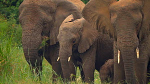 Group of African elephants (Loxodonta africana) feeding at a lake edge, Akagera National Park, Rwanda. - Laurie Hedges