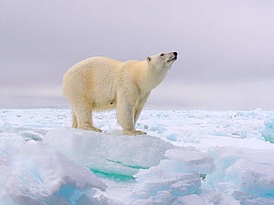 Polar bear (Ursus maritimus) standing on pack ice. Svalbard, Norway.  -  Andy Rouse