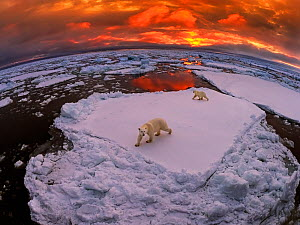 Polar bear (Ursus maritimus) mother and yearling cub on pack ice at sunset, Svalbard, Norway. October  -  Andy Rouse