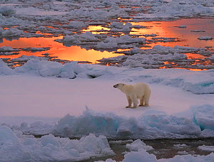 Polar bear (Ursus maritimus) standing on pack ice at sunset. Svalbard, Norway.  -  Andy Rouse