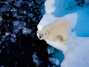 Polar Bear (Ursus maritimus) standing on pack ice, looking up at ship, Svalbard, Norway. August. - Andy Rouse
