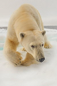 Polar bear (Ursus maritimus) Low angle shot using pole cam Arctic  October - Andy Rouse