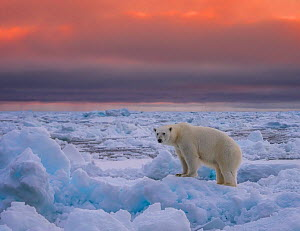 Polar bear (Ursus maritimus) standing on pack ice. Svalbard, Norway. August 2018.  -  Andy Rouse