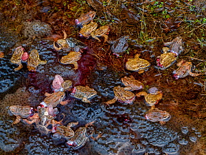 Dying Common frogs (Rana temporaria) with their legs removed for food, left to die in their breeding pool surrounded by frogspawn. Covasna, Romania. Highly commended in the Wildlife Photojournalism Ca... - Bence Mate
