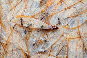 Termite (Macrotermes mossambicus) winged individual on pile of wings shed by other termites, with winged male Carpenter ants (Camponotus). Gorongosa National Park, Mozambique. Highly commended in the... - Piotr Naskrecki