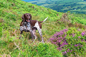 German short-haired pointer amongst heather on hillside. Dartmoor, Devon, England, UK. July 2019. - David Pike