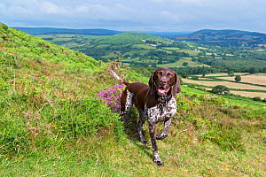 German short-haired pointer on hillside. Dartmoor, National Park, Devon, England, UK. July 2019. - David Pike
