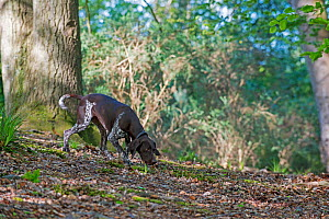German short-haired pointer following scent in woods. Stoke Woods, Exeter, Devon, England, UK. July 2019. - David Pike