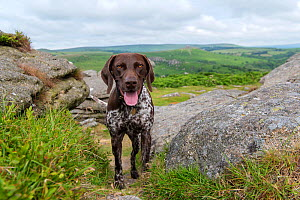 German short-haired pointer on tor. Dartmoor, Devon, England, UK. July 2019. - David Pike